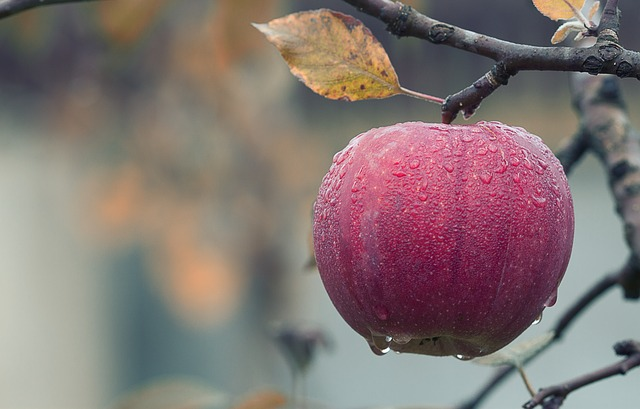 jablko na větvi.jpg